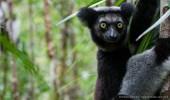 Madagaskar I Indri