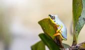 Madagaskar I Blue Frog