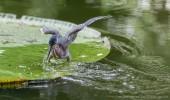 Mauritius I Fischreiher
