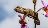 Madagaskar I Chamäleon