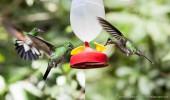 Costa Rica I Kolibris