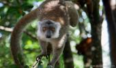 Madagaskar I Lemur
