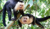 Costa Rica I Weißschulterkapuziner-Affen