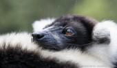 Madagaskar I Katta