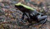 Madagaskar I Frosch