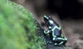 Costa Rica I Frosch