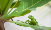 Costa Rica I grüne Echse