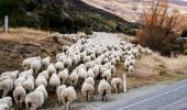 Neuseeland I Schafe